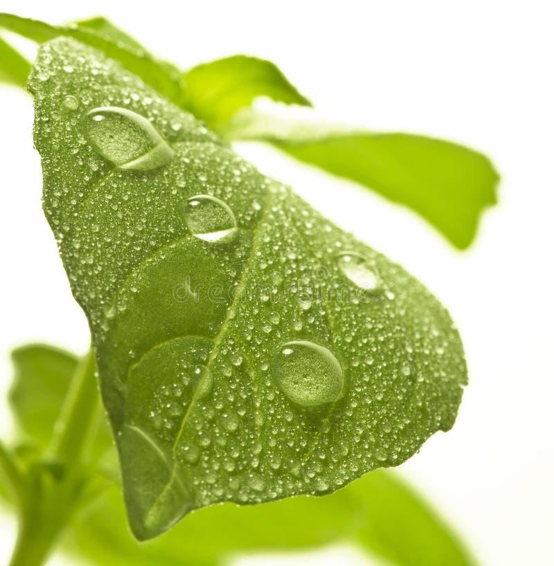 Vattendroppar på leafen. royaltyfri fotografi