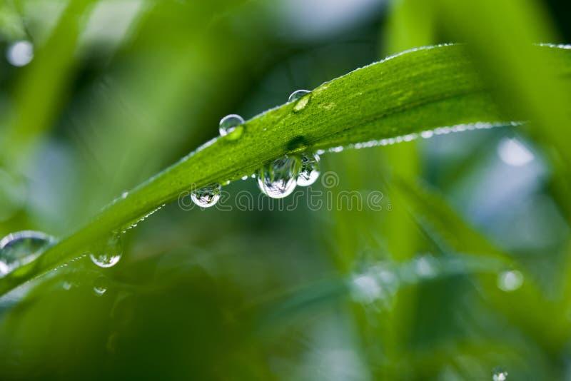 Vattendroppar på morgonljus för grönt gräs royaltyfria foton