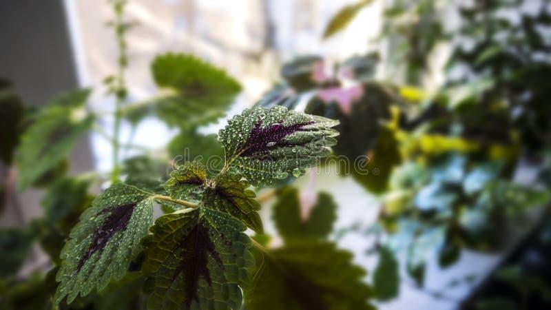 Vattendroppar på violetta sidor royaltyfri fotografi