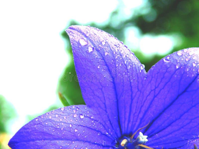 Vattendroppar som den purpurfärgade Floween royaltyfri fotografi