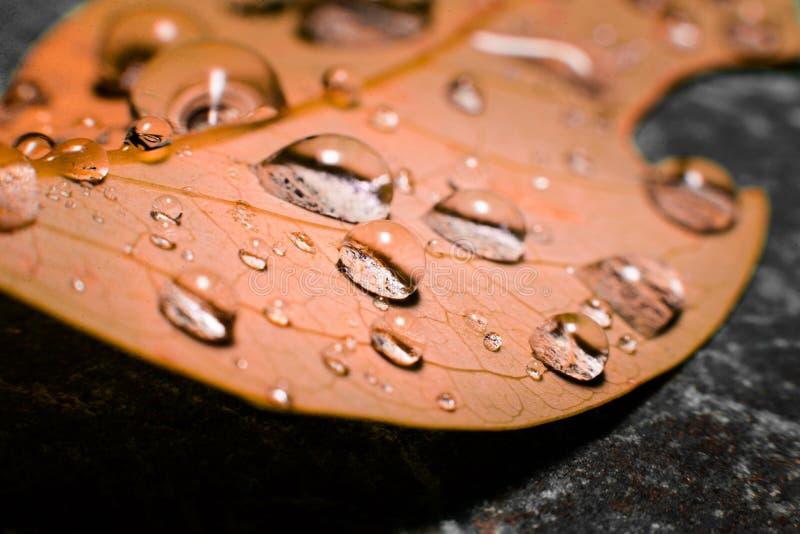 Vattendroppe på det orange höstbladet royaltyfria foton