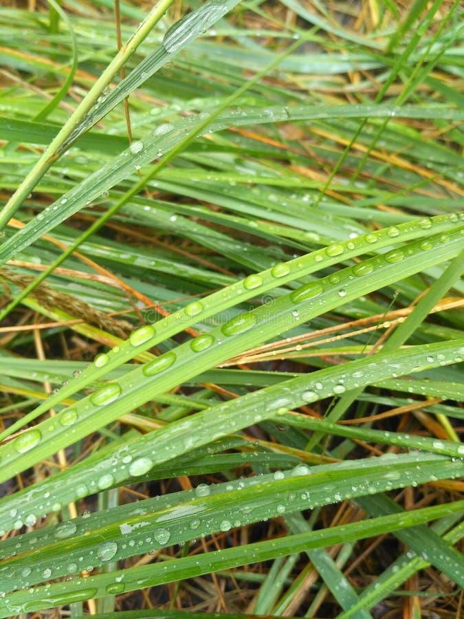 Vattendroppe på gräs i skogen royaltyfria bilder