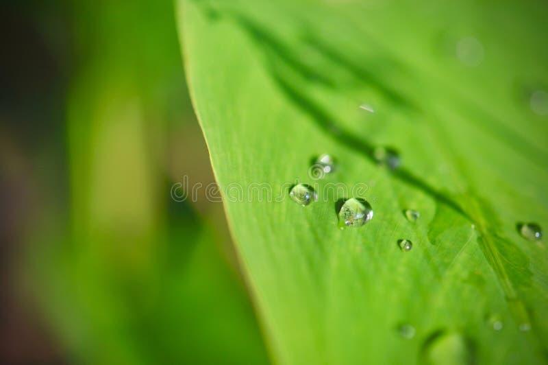 Vattendroppe på grön bladtexturbakgrund, tropisk tjänstledighetlövverk formas som mycket små grova spikar, sidor i tropisk skog royaltyfri bild