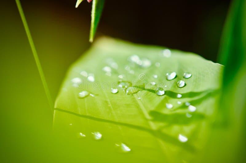Vattendroppe på grön bladtexturbakgrund, tropisk tjänstledighetlövverk formas som mycket små grova spikar, sidor i tropisk skog royaltyfria bilder