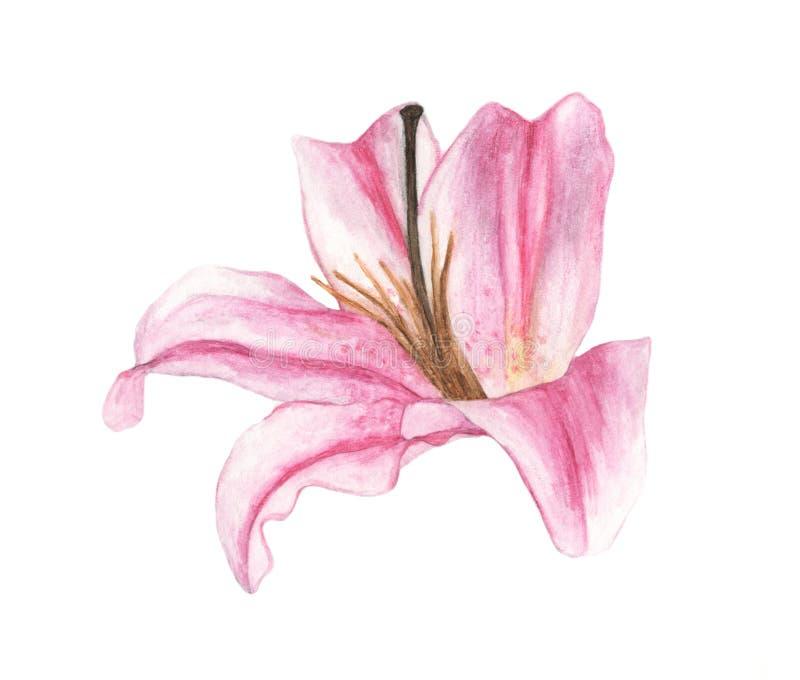 Vattenfärg av den rosa liljan, hand dragen illustration av blommor vektor illustrationer
