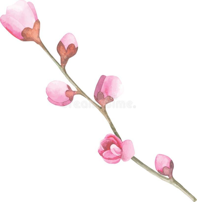 Vattenfärg Cherry Blossom Sakura för körsbärsröd blomning för handattraktion filial och blommor vektor illustrationer