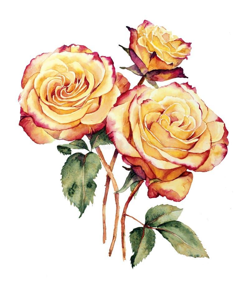 Vattenfärg med tre guling-rosa färger rosor vektor illustrationer