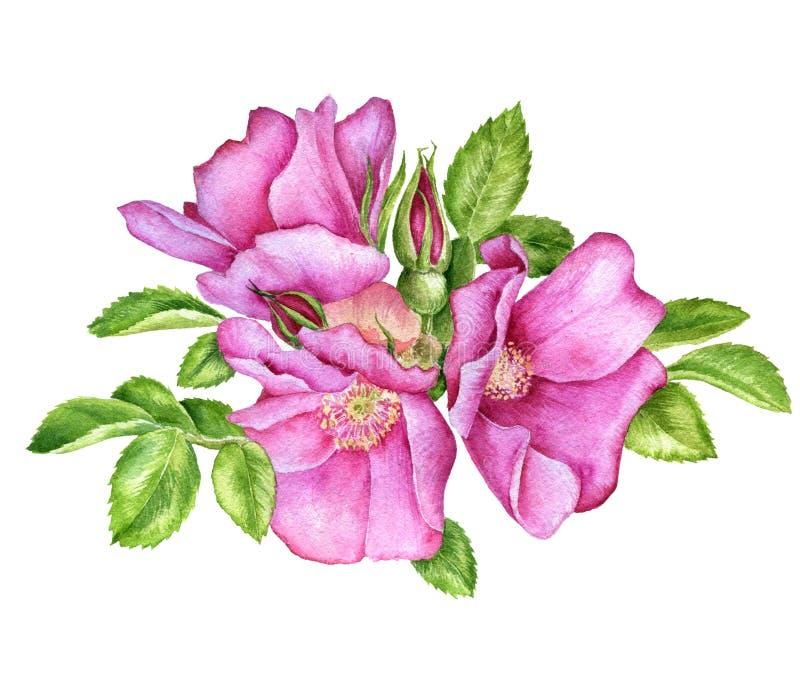 Vattenfärg som drar lösa rosor stock illustrationer