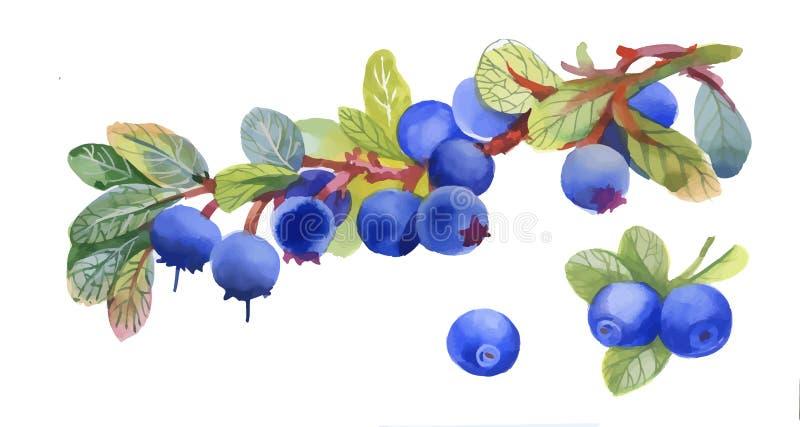 Vattenfärgblåbär på vit bakgrund vektor illustrationer