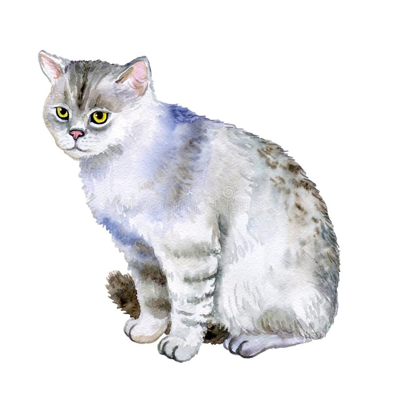 Vattenfärgcloseupstående av den gulliga skotska raka avelshorthairkatten som isoleras på vit bakgrund Katt på kattshow Hand stock illustrationer