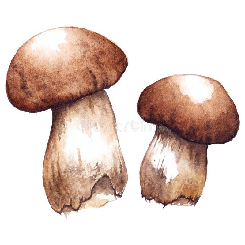 Vattenfärgen den vita porcinien för två par plocka svamp vektorn vektor illustrationer