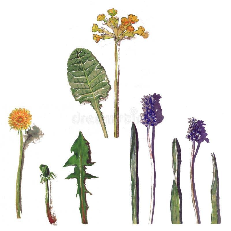 Vattenfärgen för lösa blommor skissar maskrosfältsidor royaltyfri illustrationer