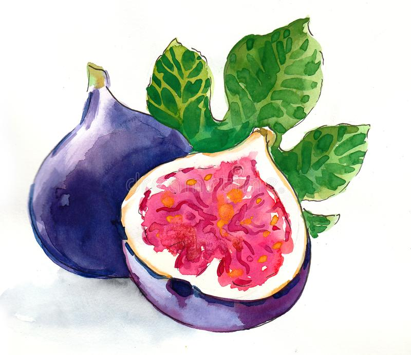 Vattenfärgfikonträdfrukt royaltyfri illustrationer
