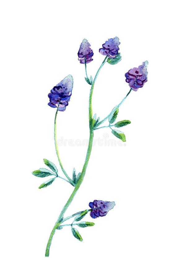 Vattenfärgillustration av alfalfa stock illustrationer