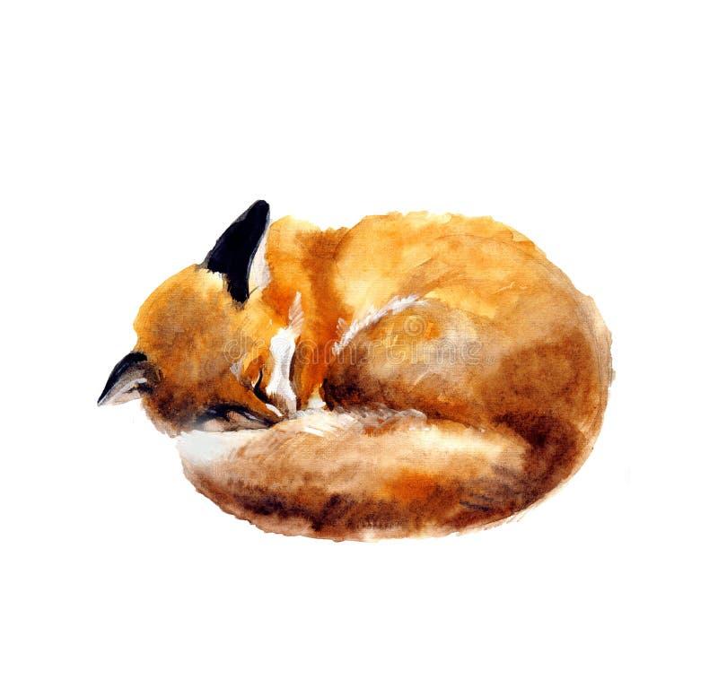 Vattenfärgillustration av en sova räv på den vita bakgrunden Den drog handen skissar den gulliga vattenfärgrävillustrationen Djur vektor illustrationer