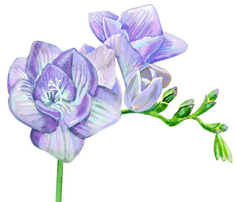 Vattenfärgillustration av freesia med violetta blommor royaltyfri bild