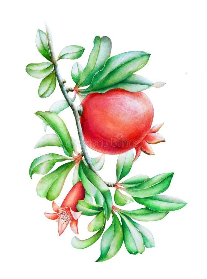 Vattenfärgillustration av granatäppleträdfilialen royaltyfri illustrationer