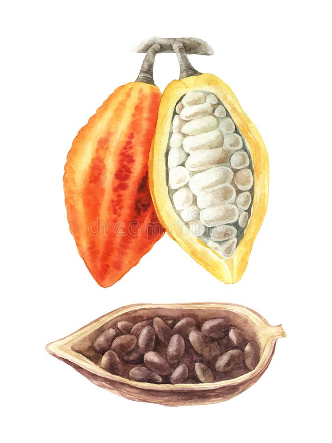 Vattenfärgillustration av kakaobönor vektor illustrationer