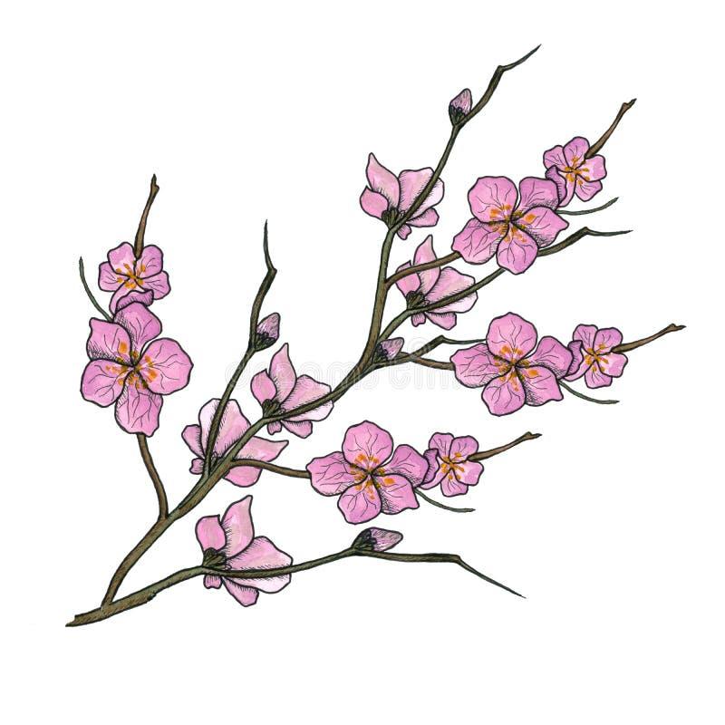 Vattenfärgillustration av vårblomfilialen med rosa blommor, knoppar vektor illustrationer