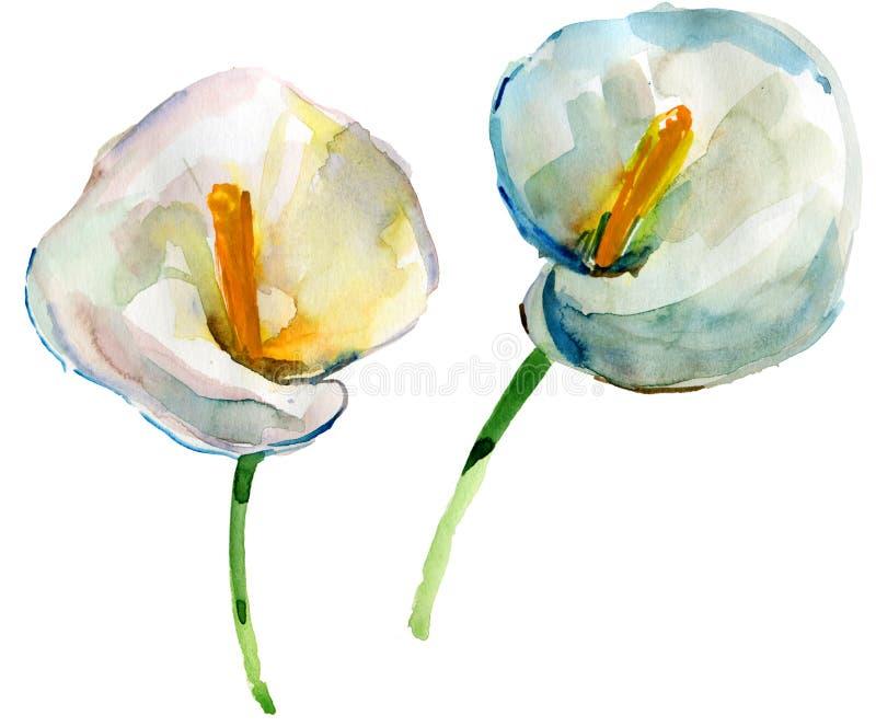 Vattenfärgmålning av vita callaliljor royaltyfri illustrationer