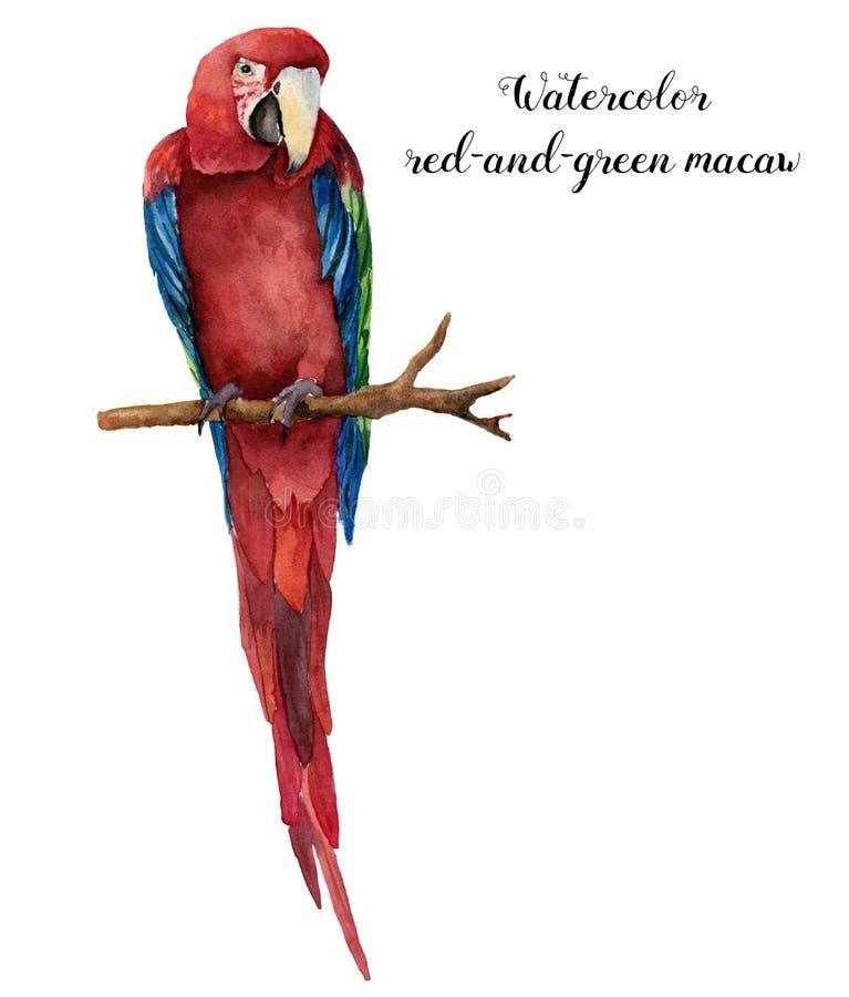 Vattenfärgröd-och-gräsplan ara Hand målad papegoja som isoleras på vit bakgrund Naturillustration med fågeln för vektor illustrationer