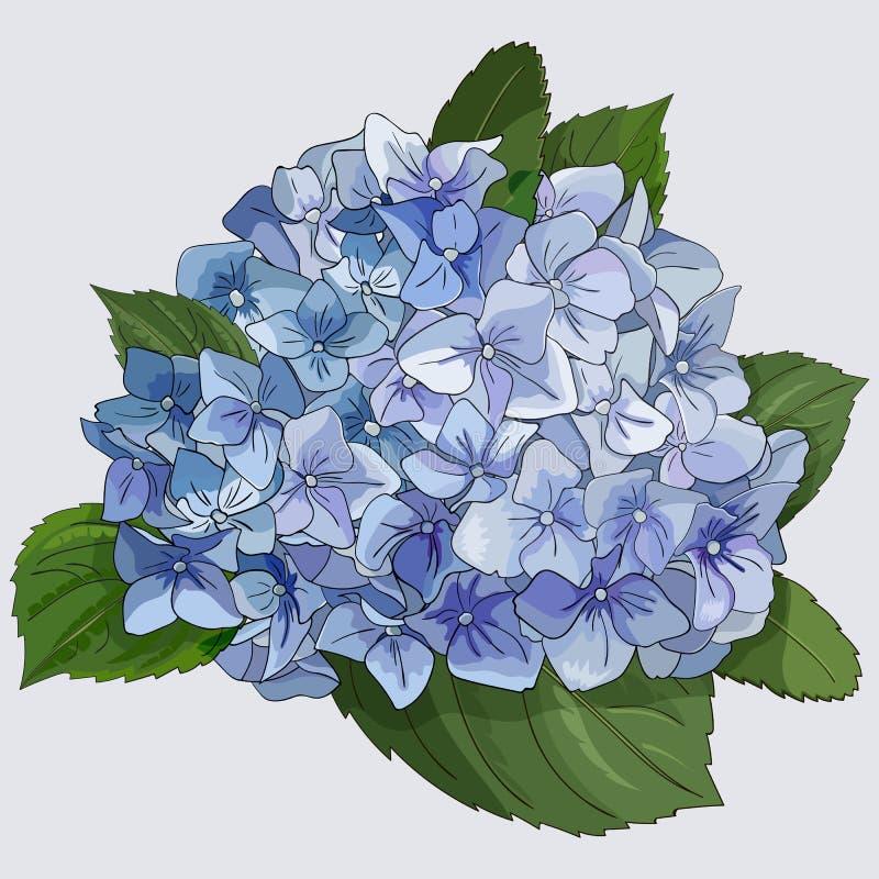 Vattenfärgstilfilial av vanlig hortensiablommor Isolerat blom- objekt på vit bakgrund vektor illustrationer