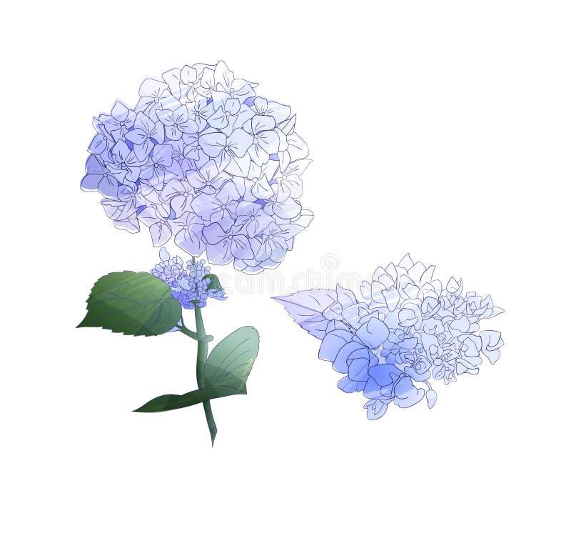 Vattenfärgstilfilial av vanlig hortensiablommor Ställ in av isolerat blom- objekt på vit bakgrund royaltyfri illustrationer