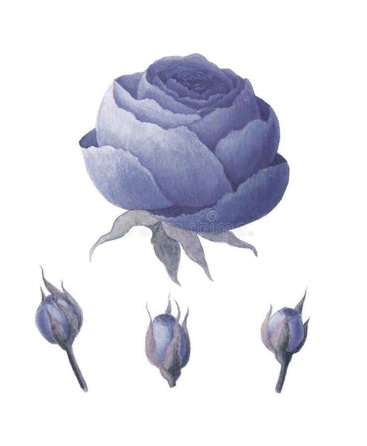 Vattenfärgtappningblått steg blommor royaltyfri illustrationer