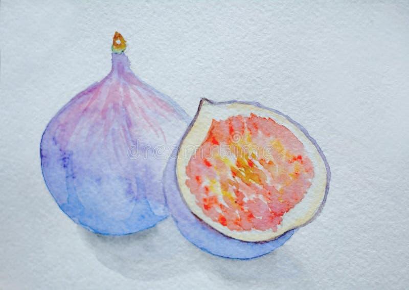 Vattenfärgteckning, purpurfärgade fikonträd på en vit bakgrund stock illustrationer