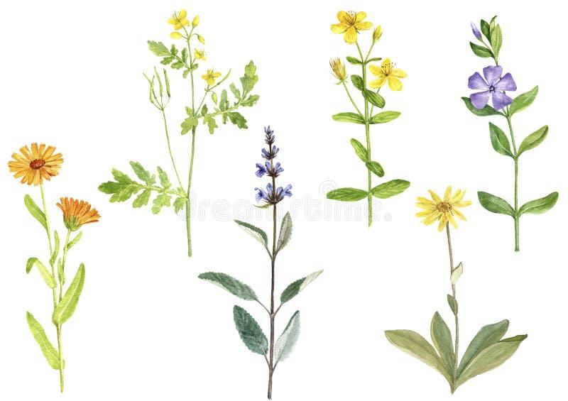 Vattenfärgteckningsmedicinalväxter stock illustrationer
