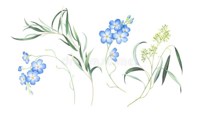 Vattenfärguppsättningen av glömmer mig inte blommor och eukalyptuns som isoleras på vit bakgrund royaltyfri illustrationer
