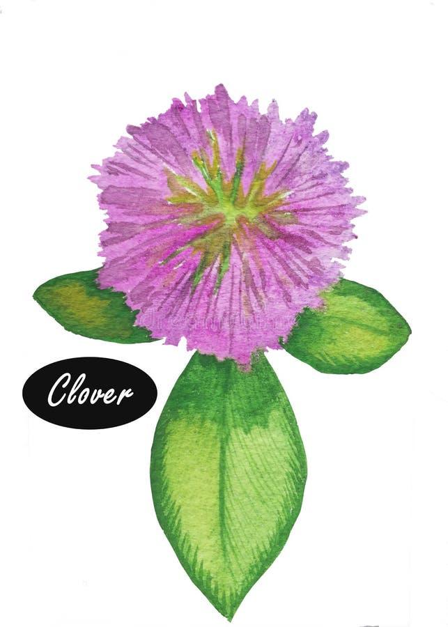 Vattenfärgväxt av släktet Trifolium eller trefoil stock illustrationer