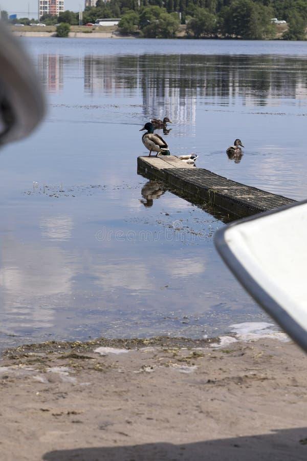 Vattenfågel i staden royaltyfri foto