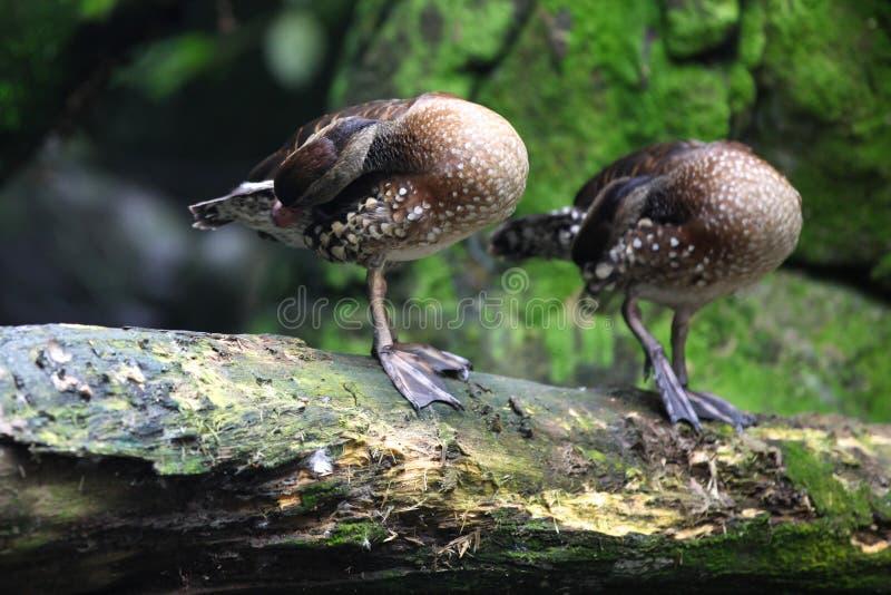 Vattenfågeln duckar på land, Singapore arkivbild