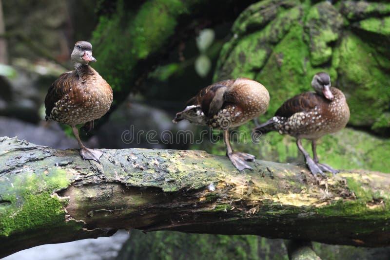 Vattenfågeln duckar på land, Singapore arkivfoton
