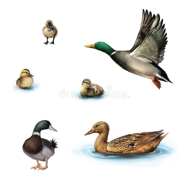 Vattenfåglar som flyger anden, duckar i vattnet, den stående manliga anden, ankungar i vattnet som isoleras på vit bakgrund. stock illustrationer