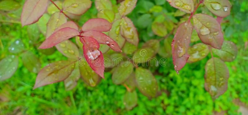 Vattenfall på lotus blad royaltyfria foton