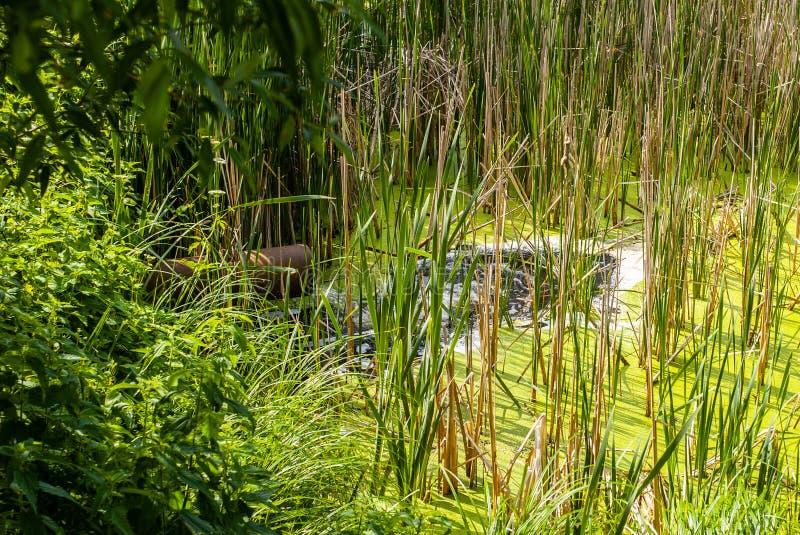Vattenflöden från uttagröret till sjön med vasser royaltyfria foton