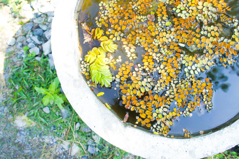 Vattengrönsallat, stemless vattenväxt eller andmat arkivbilder