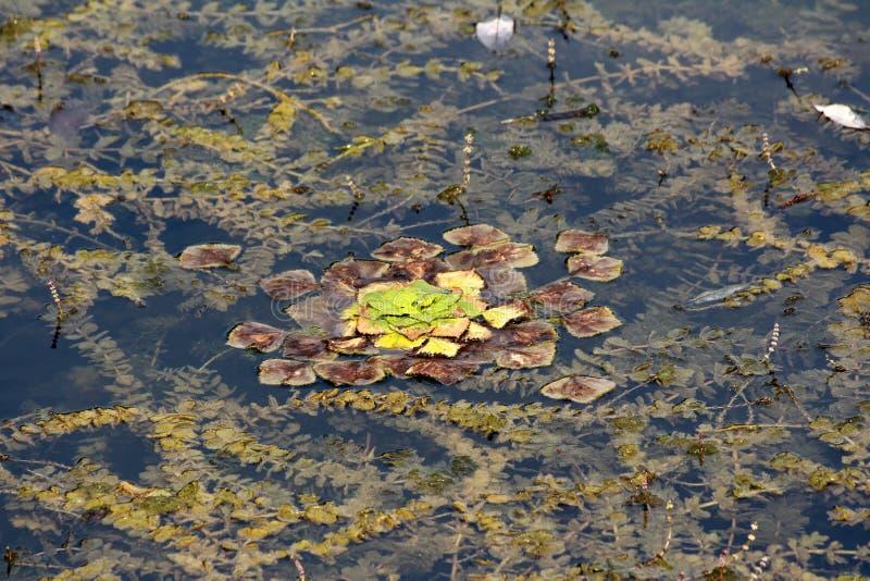 Vattenkastanj eller Eleocharisdulcisgräs som den vatten- grönsakstarrgräset med tjocka gröna och bruna sidor som svävar i den lok arkivbilder