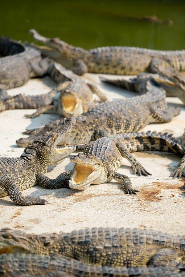 Vattenkroppar på krokodilen royaltyfri bild