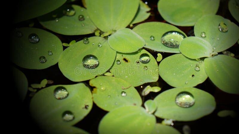 Vattenliten droppe på vattengrönsallat royaltyfri foto