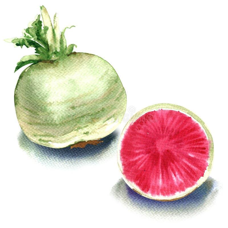 Vattenmelonrädisa, en som är hel och skivas isolerat på vit bakgrund royaltyfri illustrationer