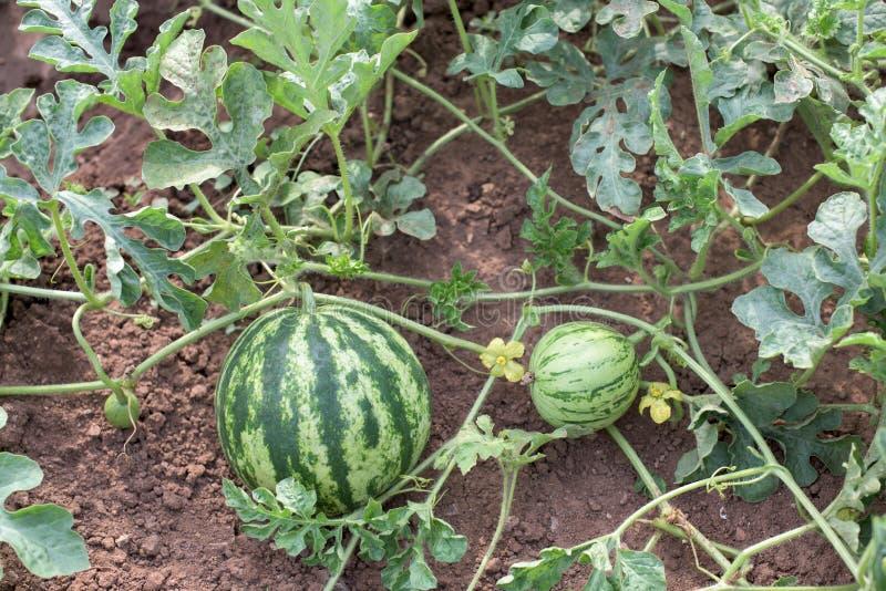 Vattenmelonväxt royaltyfria bilder