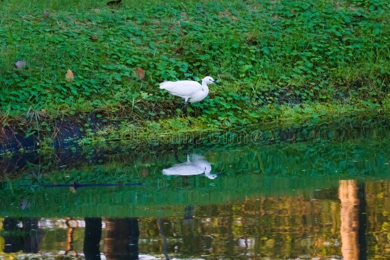 Vattenreflexioner av en härlig vit ägretthäger som fiskar på water'skanten av en tropisk trädgård arkivfoto