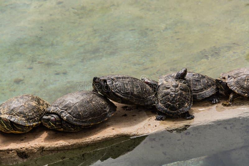 Vattensköldpaddor vilar och värma sig i solen royaltyfria bilder