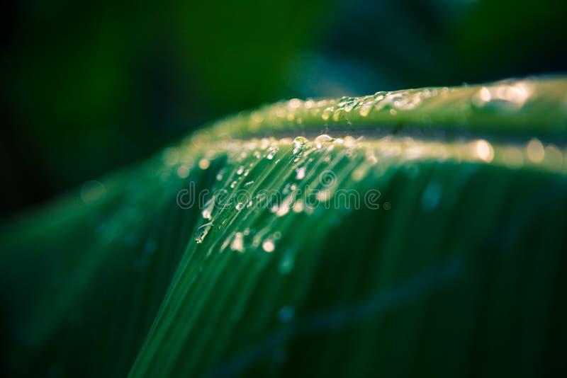 Vattensmå droppar på bananbladet i mörk tappningfärg för solnedgång tonar arkivbilder