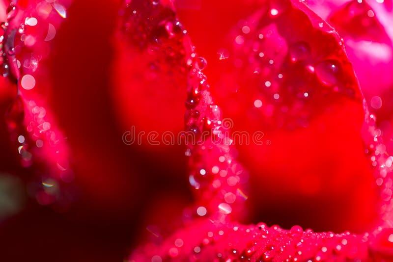 Vattensmå droppar på en röd ros fotografering för bildbyråer