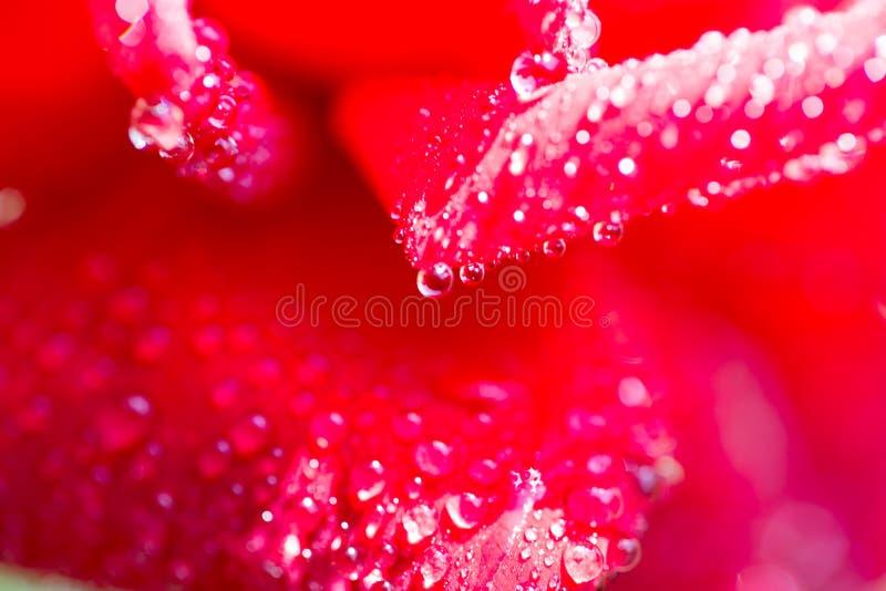 Vattensmå droppar på en röd ros royaltyfri fotografi