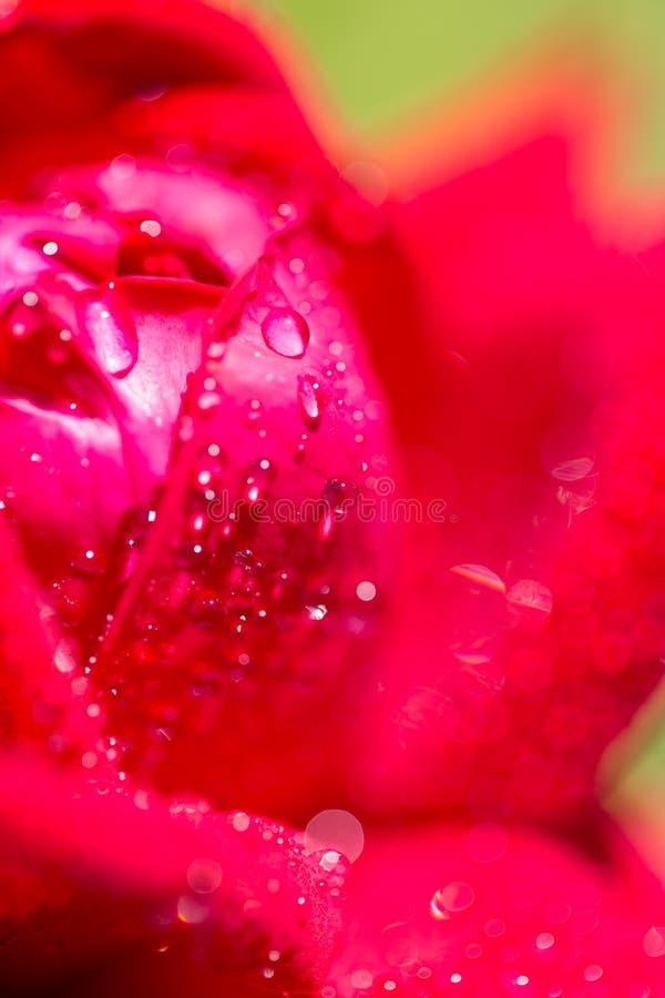 Vattensmå droppar på en röd ros royaltyfri foto